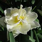 Delicate Beauty - Sunlit White and Yellow Tulip by BlueMoonRose