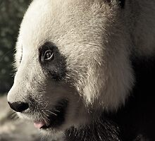 Wang Wang the Panda Bear.... by Ali Brown