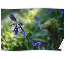 Bluebell in shadow Poster