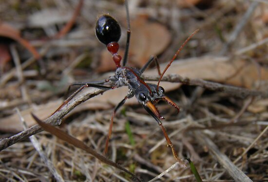 Inch Ant - Murray Lagoon, South Australia by Dan & Emma Monceaux