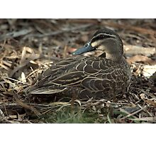 The masked duck - cleverly camouflaged Photographic Print
