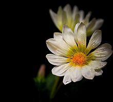 Gazania on Black by BoB Davis