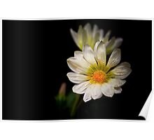 Gazania on Black Poster