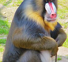 the MANDRILL (Mandrillus sphinx) by Johan  Nijenhuis
