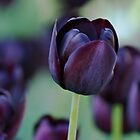 Dark Purple Tulip by Sandy Keeton