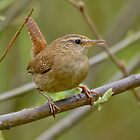 Wren by Roger Hall