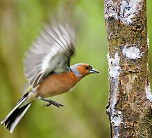 Chaffinch by charliefoxtrott