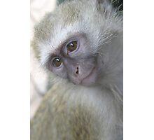 Vervet Monkey Photographic Print