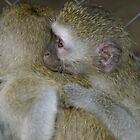 Orphan Vervet Monkeys by Suzy Harrison