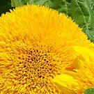 Sunflower Photography Calender Yellow Sun Flowers by BasleeArtPrints