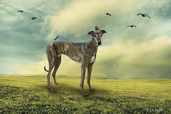 A Greyhound by linifer