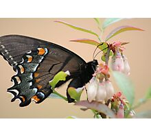 Butterfly on a Blueberry Blossom Photographic Print