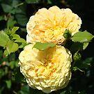 Beautiful Double Rose Yellow Peach Rose Flowers art by BasleeArtPrints