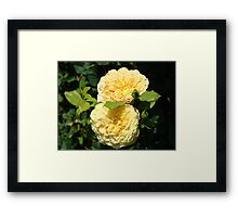 Beautiful Double Rose Yellow Peach Rose Flowers art Framed Print