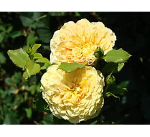 Beautiful Double Rose Yellow Peach Rose Flowers art Photographic Print