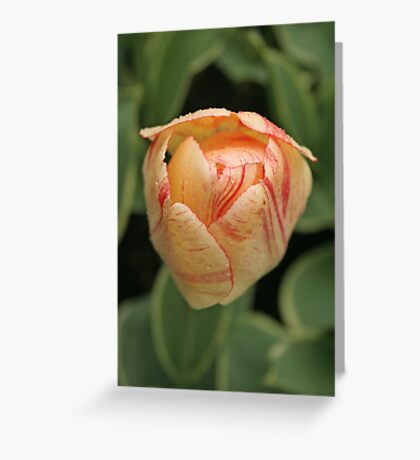Tulip - Keukenhof gardens, Netherlands Greeting Card