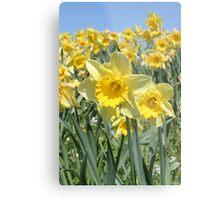 Daffodils Metal Print