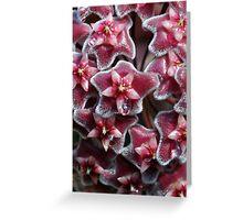 Pink Hoyas Greeting Card