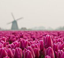 Tulip Ocean by ferryvn