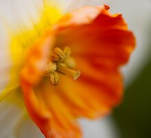 daffodil (2) by codaimages