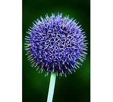 Blue Thistle Photographic Print