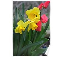 Tulips and daffodils Poster