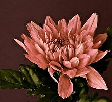 Warm Dahlia by Jacqueline Hill
