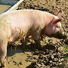 pig,caught, snout, trough by Steve