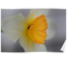 Spider on Daffodil Poster