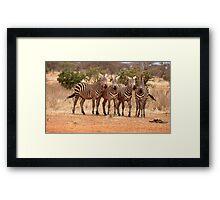 Wild zebra's on the African savannah Framed Print