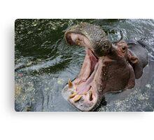 Yawning hippopotamus Canvas Print