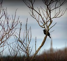 Red-Winged Blackbird by Monica M. Scanlan