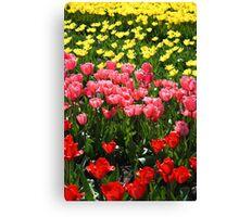 The famous dutch tulip fields Canvas Print