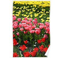 The famous dutch tulip fields Poster