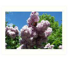 Lavender/butterfly Art Print