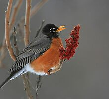 American Robin by naturalnomad