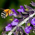 Blue banded bee landing on flower by Richard Majlinder