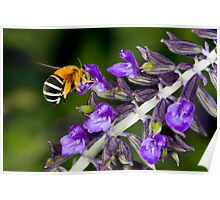 Blue banded bee landing on flower Poster