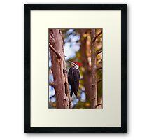 Pileated Woodpecker - Ottawa, Ontario Framed Print