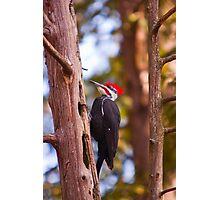Pileated Woodpecker - Ottawa, Ontario Photographic Print