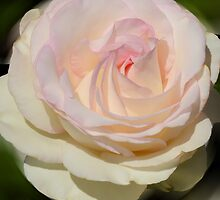 A Single Rose by Barbara Manis