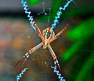 St Andrew's Cross Spider (female). by Margaret Stevens