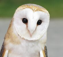 Barn owl by hummingbirds