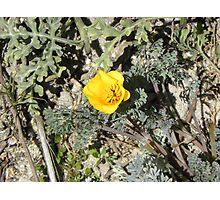 Bugs on Beach Poppy Photographic Print
