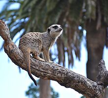Meerkat Mania! by JaninesWorld
