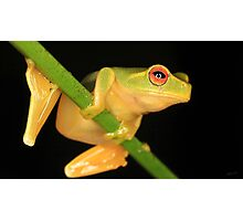 Little Red-Eyed Tree Frog Photographic Print