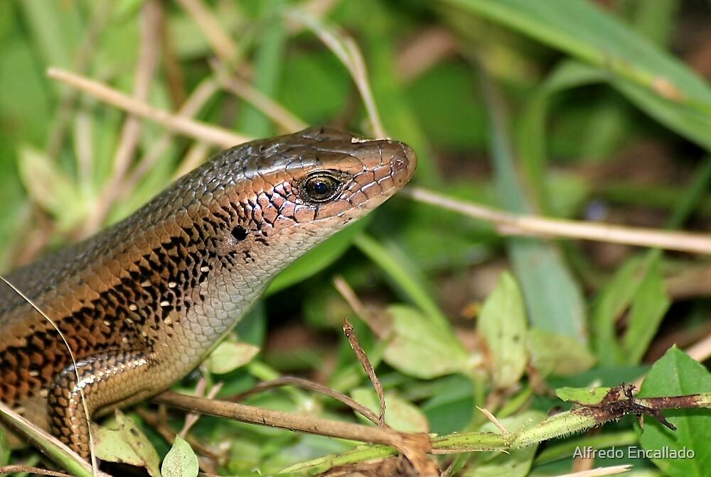 Wild Philippine Lizard by Alfredo Encallado
