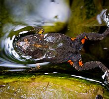 Smooth Toadlet, Uperoleia laevigata, swimming by Normf