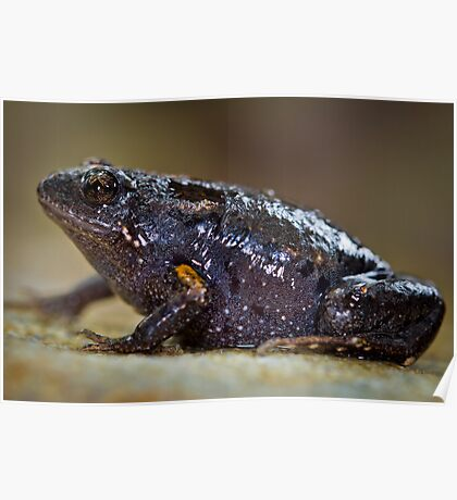 Dusky Toadlet, Uperoleia fusca Poster