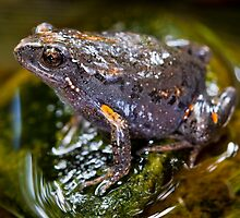Smooth Toadlet, Uperoleia laevigata by Normf